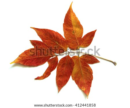 oil paint dry fall leaf of decorative maple isolated leaves on white background for scrapbook, draw object, roughage pressed and dried autumn leaf  ash-leaf maple #412441858