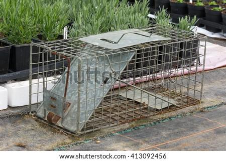 Steel humane rat trap set up in a garden nursery #413092456