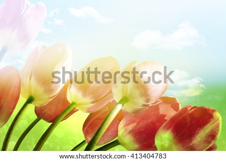 Spring flowers tulips on the background of blue sky with clouds #413404783