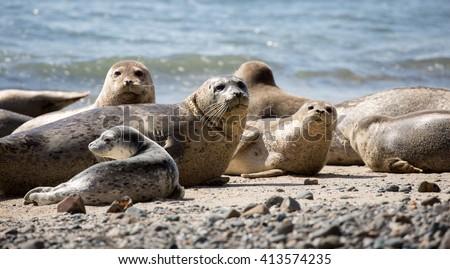 Alert Harbor Seals (Phoca vitulina) in Moss Beach, San Mateo County, California,USA. Royalty-Free Stock Photo #413574235