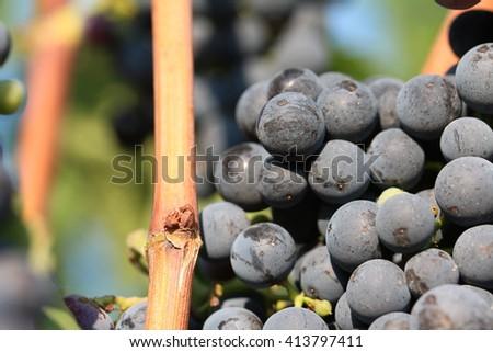 Grapes  #413797411