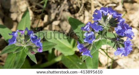 spring blue flowers in the forest #413895610