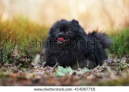 adorable pomeranian spitz dog posing outdoors #414087718