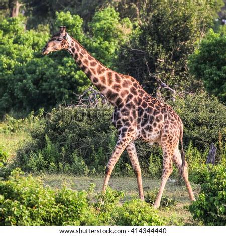 Giraffe walking through bush #414344440