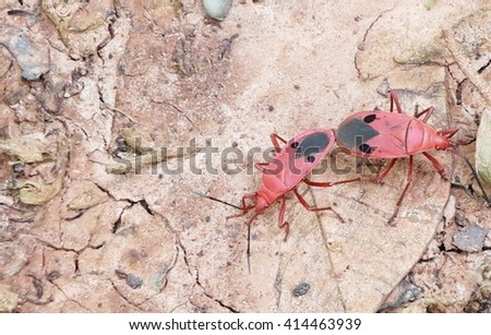 """Catacanthus incarnatus — Man-faced Stink Bug. Catacanthus (""""having downward-pointing thorns""""[1]) is a genus of insects within the Pentatomidae family. This insect was pictured during mating"""