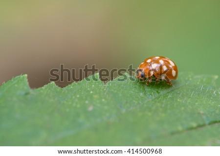 Cream-spot ladybird, Calvia quatuordecimguttata #414500968