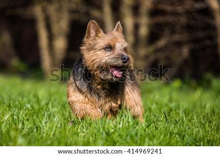 norwich terrier #414969241