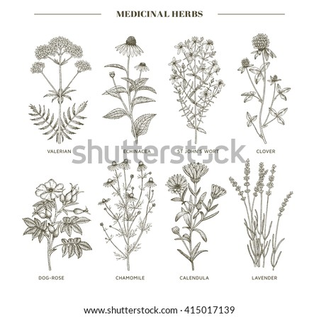 Vector hand drawn collection of medicinal, cosmetics herbs. St. John's Wort, echinacea, lavender, valerian, chamomile, calendula, dog-rose, clover plants. #415017139