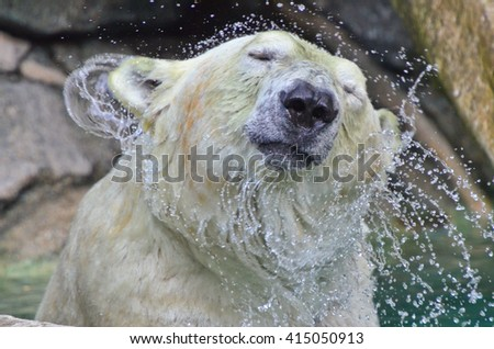 Polar Bear Head Shake