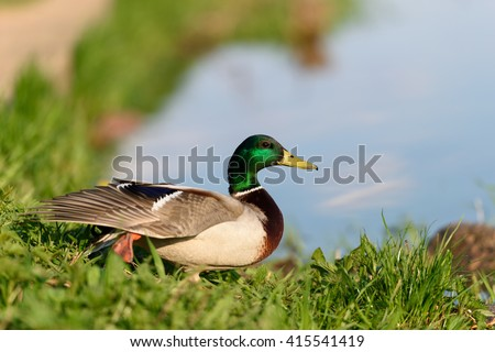 Birds and animals in wildlife. Beautiful duck in park with spread wings under sunlight is going to fly.