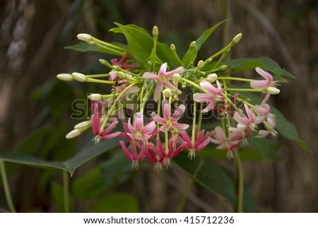 Rangoon creeper, pink flowers #415712236