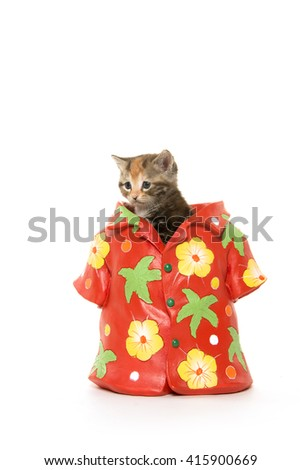 Cute tabby kitten sitting inside of hawaiian shirt isolated on white background #415900669