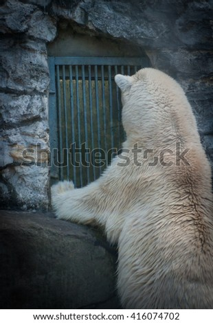 Picture of the back of a polar bear looking into a window waiting for food