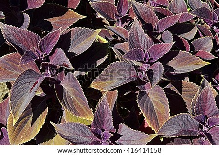 Purple Leaves #416414158