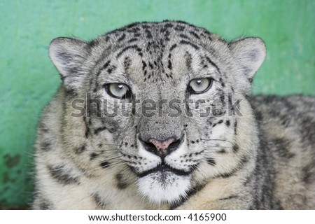 a snow leopard in a zoo #4165900