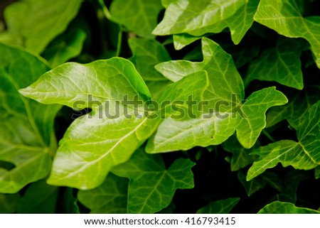 Green leaves. Wall of ivy #416793415