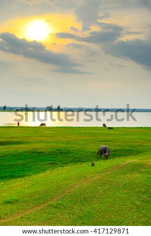 Asian buffalo in rural Thailand. Asian water buffalo in the lake at Thailand. #417129871