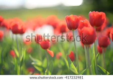 Amazing nature of red tulips under sunlight at the middle of summer or spring day  landscape.  Natural view of flower blooming in the garden with green grass as a  background.