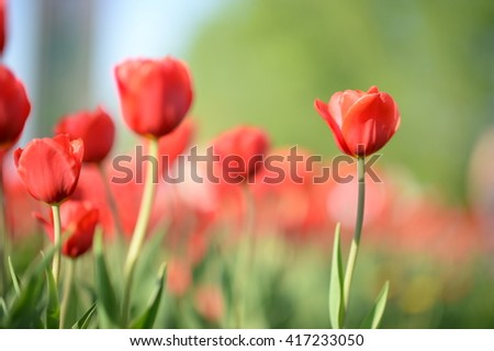 Amazing nature of red tulips flowering under sunlight at the middle of summer or spring day landscape. Natural scenery of flower blooming in the garden with green grass and sky as a background.