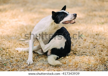 a dog try to scratching its skin : soft and selective focus picture.