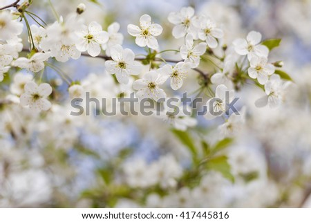 Blossoming branch with cherry flowers in springtime. #417445816
