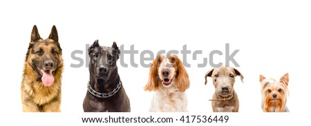 Portrait of five dogs isolated on white background  #417536449