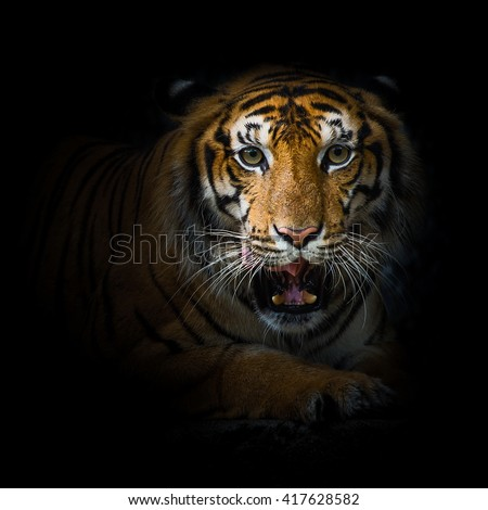 close up face tiger isolated on black background #417628582