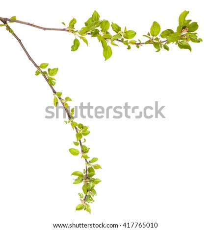 branches of apple trees with young leaves. isolated on white background #417765010