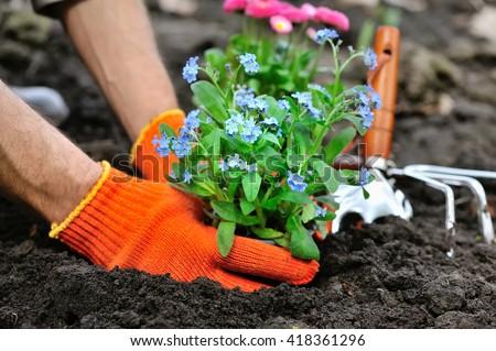 Gardeners hands planting flowers Forget-me-not in garden #418361296