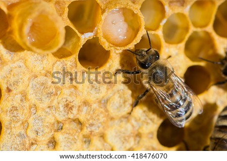A queen bee cup with royal jelly in the wax comb of the honey bee (Apis mellifera) Royalty-Free Stock Photo #418476070