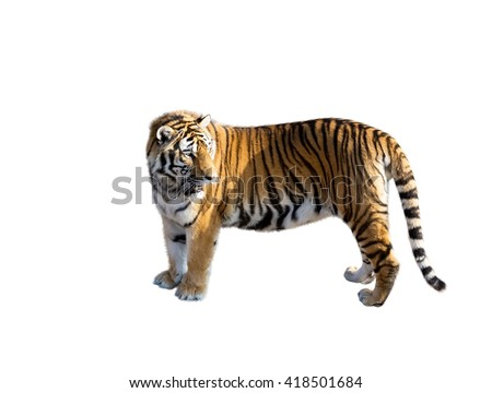 the big Amur tiger on a white background #418501684
