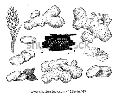 Vector hand drawn Ginger set. Root, ginger pieces and flower. Engraved style illustration. Herbal spice. Detox food ingredient. Royalty-Free Stock Photo #418646749