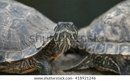 Two turtles on one head. #418921246