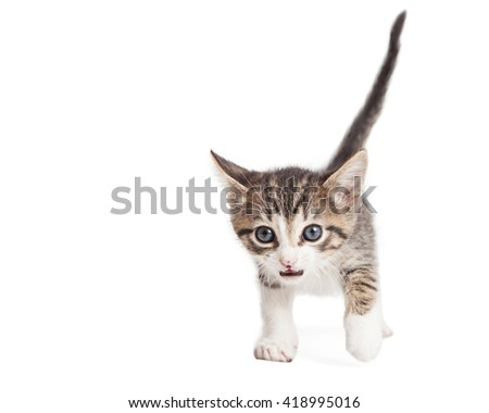 Cute young tabby kitten with mouth open walking forward on a white studio background #418995016