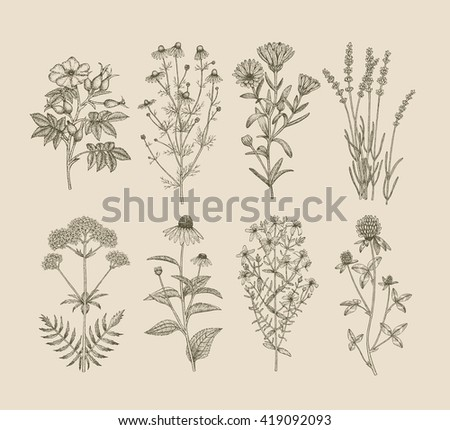 Vector hand drawn collection of medicinal, cosmetics herbs. St. John's Wort, echinacea, lavender, valerian, chamomile, calendula, dog-rose, clover plants. #419092093