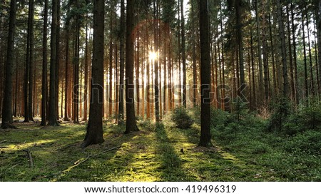 Wooded forest trees backlit by golden sunlight before sunset with sun rays pouring through trees on forest floor illuminating tree branches #419496319