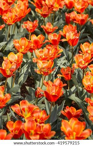 Nature background of orange tulips - Keukenhof, Netherlands #419579215