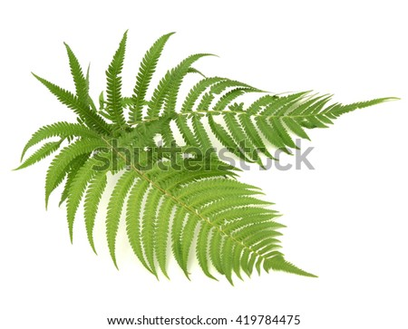 fern leaves on white background #419784475