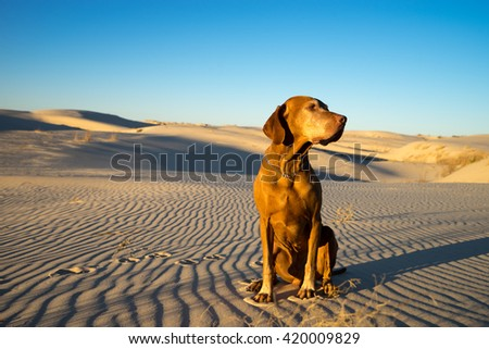golden color dog sits in the desert in the late afternoon sun  #420009829