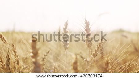 ears of wheat at warm summer sunset light, 4k photo #420703174