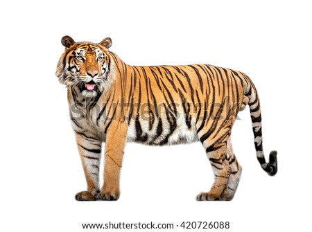 tiger action Royalty-Free Stock Photo #420726088