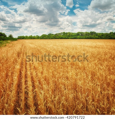 Golden wheat field and trees #420791722