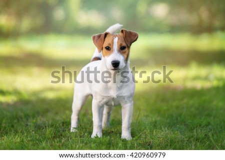 young jack russell terrier dog posing outdoors #420960979