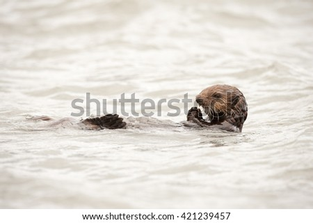 Wild sea otter floating in the ocean and eating mussels and clams #421239457