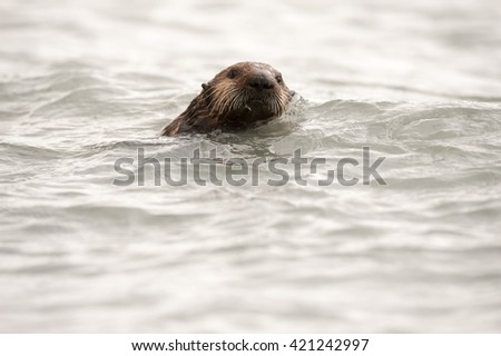 Wild sea otter floating in the ocean, eating clams #421242997