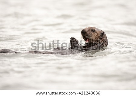 Wild sea otter floating in the ocean, eating clams #421243036
