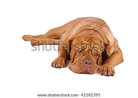 French Mastiff lying down isolated on white background #42182395