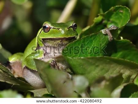 European Treefrog - Hyla arborea in the small pond, singing frog #422080492