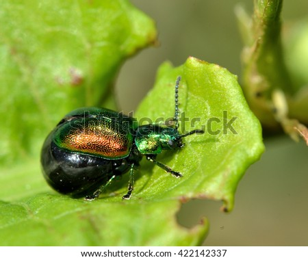 Green dock beetle (Gastrophysa viridula) gravid female. Female beetle in the family Chrysomelidae, with abdomen distended with eggs ready to be laid Royalty-Free Stock Photo #422142337
