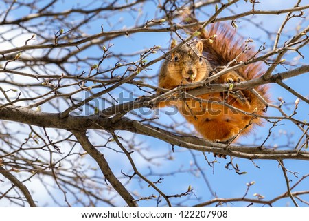Fox squirrel eating leaf buds perched in a tree  #422207908